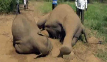 Elephants killed by electricity