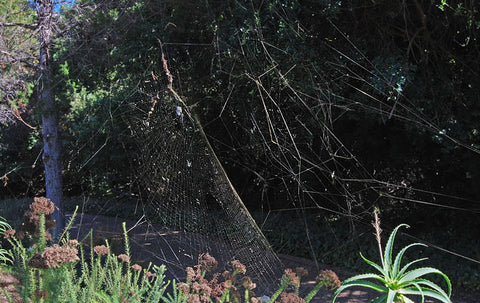 Large Spider Web - Nephila sp.