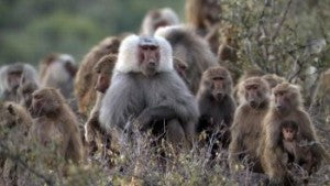 Baboons controlled by Electric Fencing