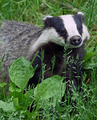 Badger feed