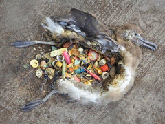 Bird killed by eating plastic rebbish