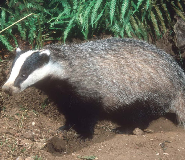 Badger Electric Fencing Kit Keep Badgers Out Agrisellex