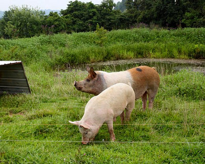 Pig Fencing Kit, 12 v Battery or 220 v Mains Electricity.