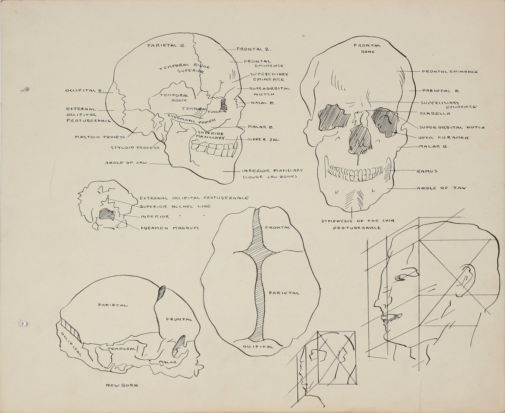 Anatomical Human Skull Study <br>Mid 20th Century Mixed Media <br><br>#41345