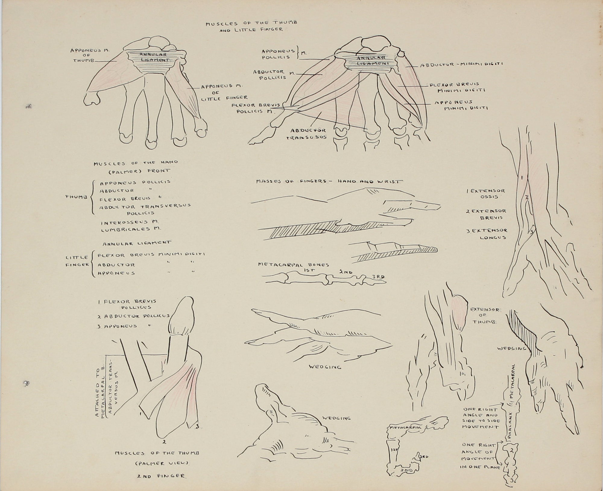 Academic Study of the Hand <br>1950s Ink, Graphite & Colored Pencil <br><br>#41352