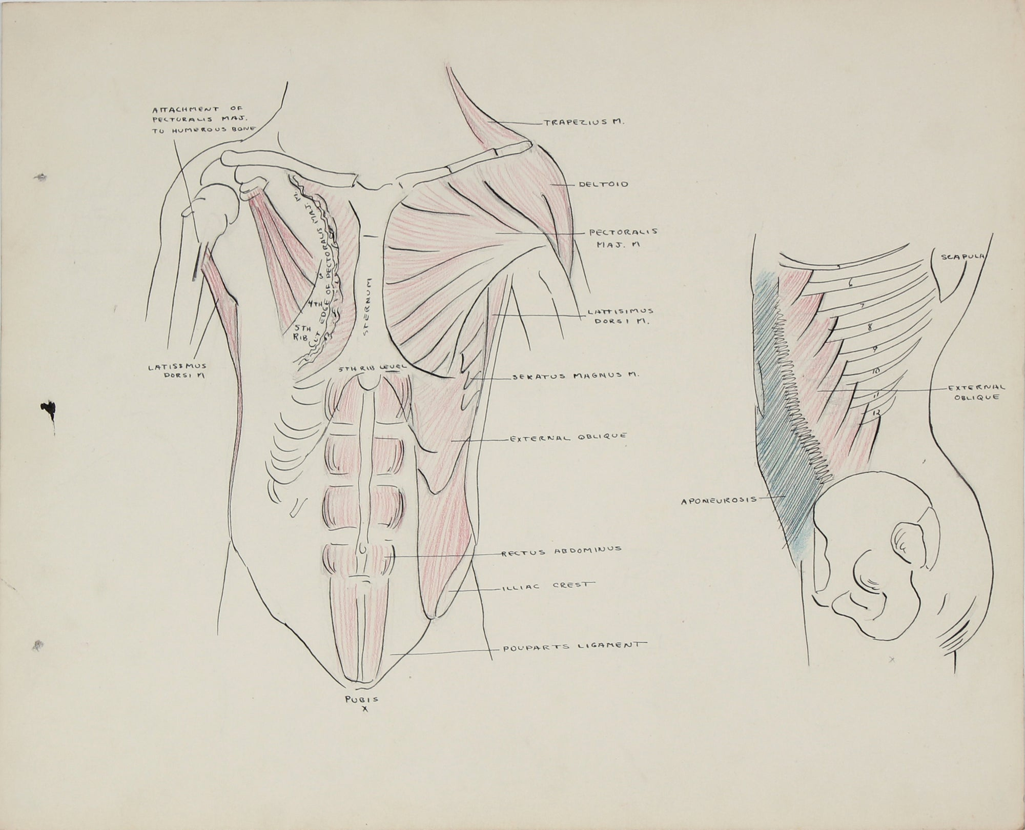 Academic Study - Musculature of the Torso <br>1950s Ink, Graphite & Colored Pencil <br><br>#41353