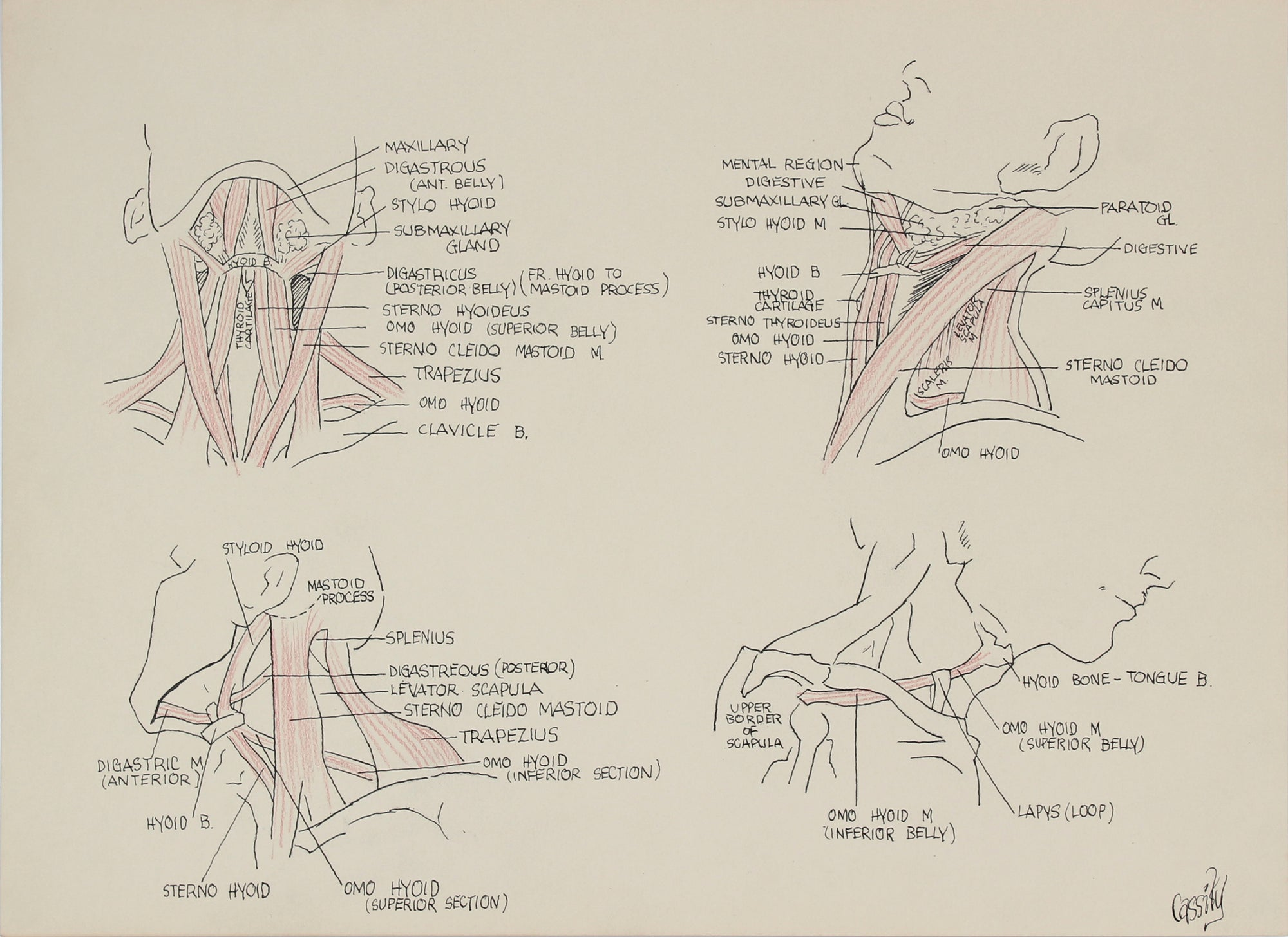 Detailed Anatomical Neck Study <br>Mid 20th Century Ink & Colored Pencil <br><br>#41370