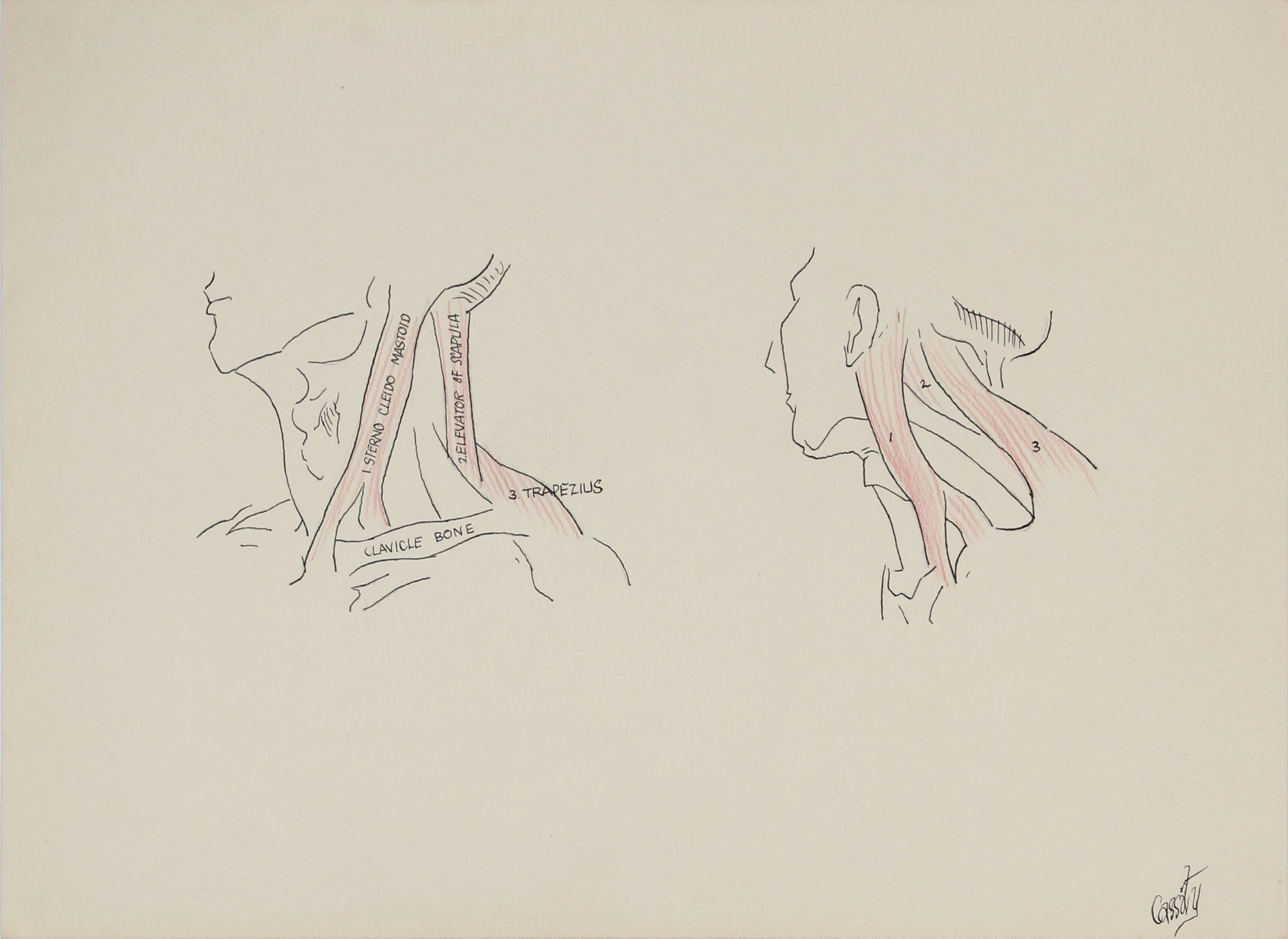 Throat & Neck Anatomical Drawing <br>1950s Ink & Colored Pencil <br><br>#41371