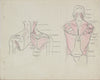 Back Musculature Anatomical Drawing<br>1950s Ink & Graphite <br><br>#41374
