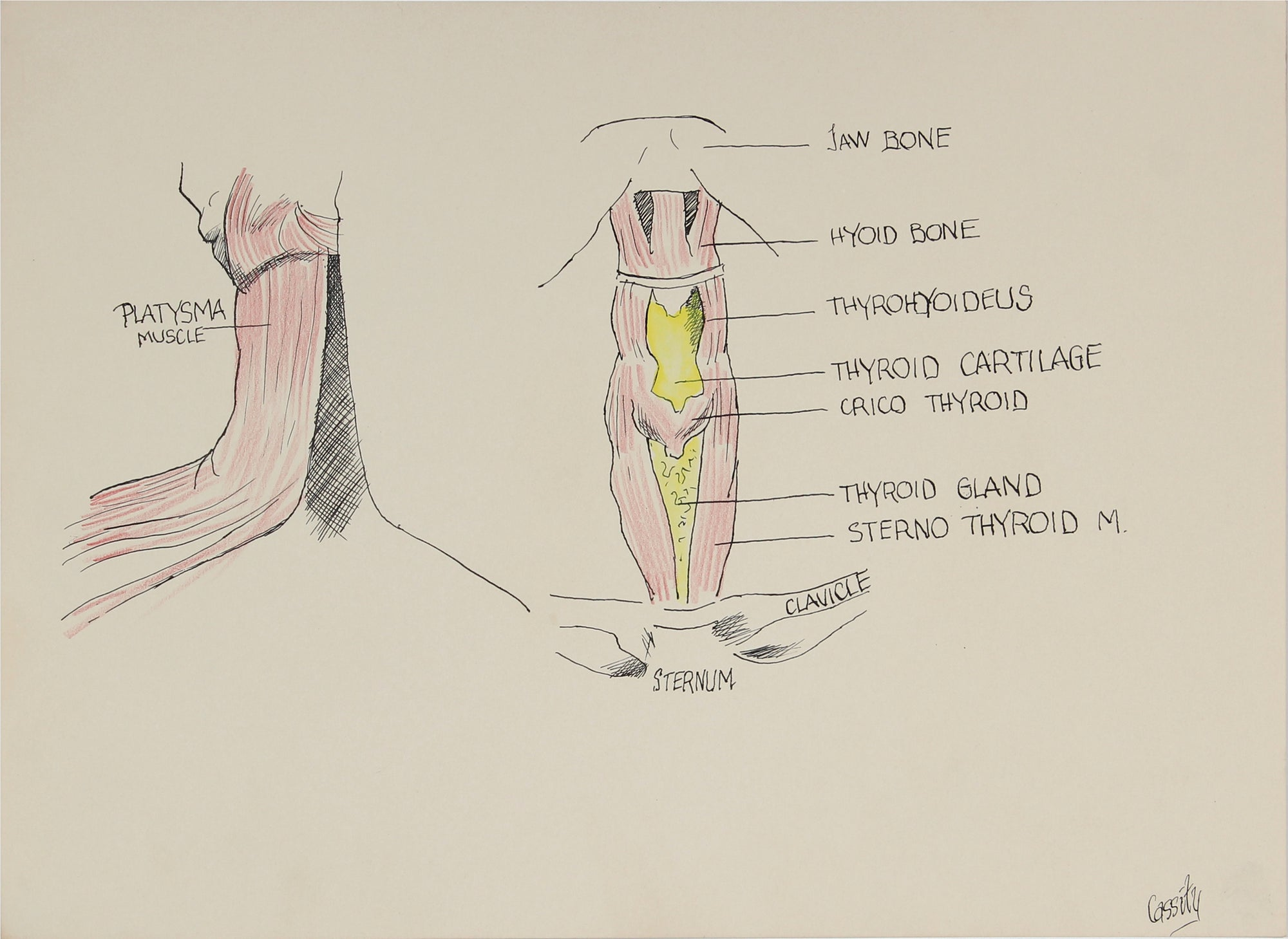Anatomical Breakdown of the Neck <br>Mid 20th Century Ink & Colored Pencil <br><br>#41380