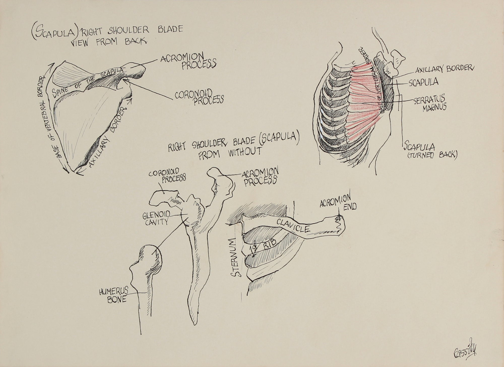 Anatomical Shoulder Blade Study <br>1950s Ink & Colored Pencil <br><br>#41388