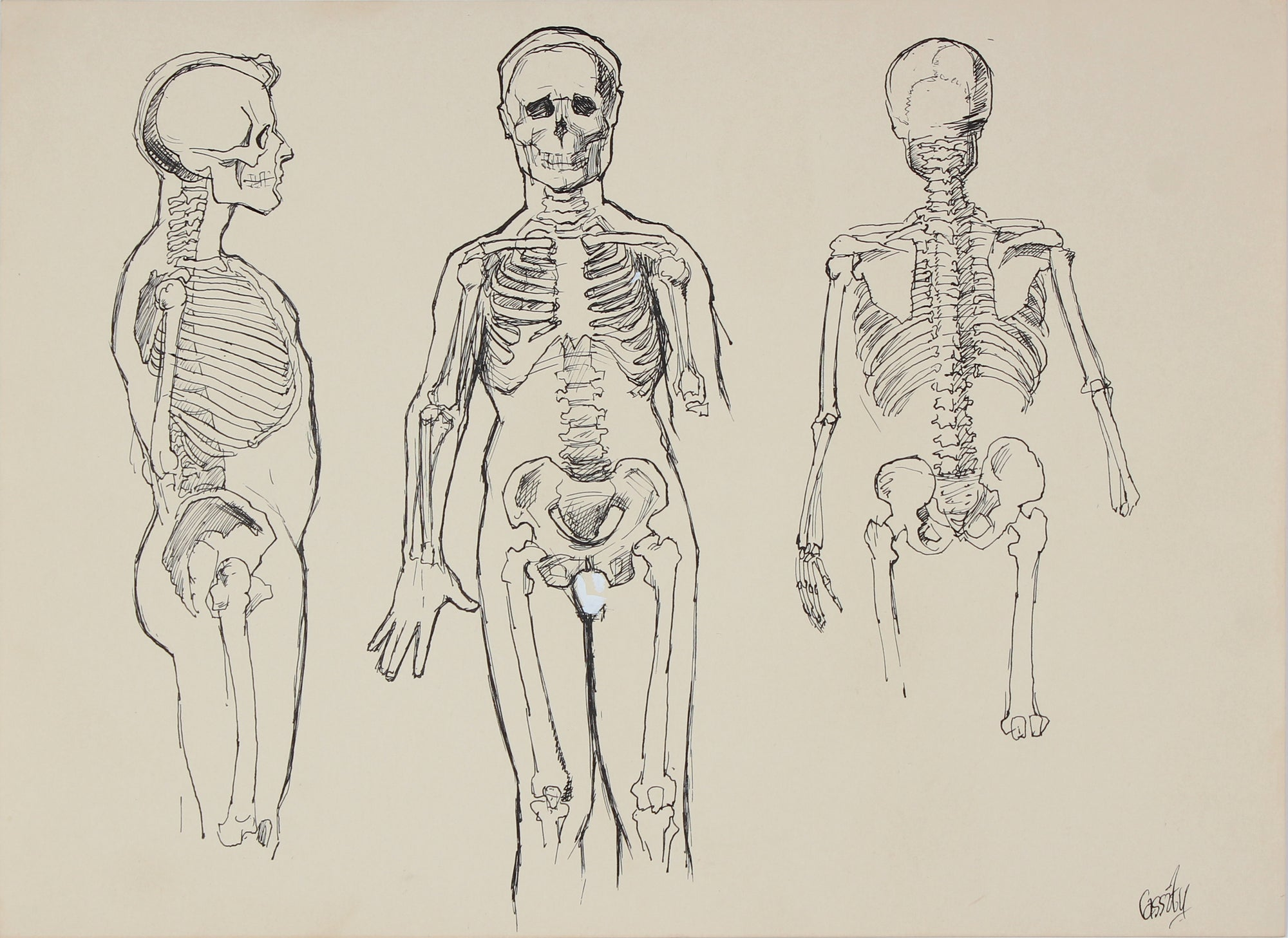 Anatomical Skeleton Study <br>1950s Ink <br><br>#41392