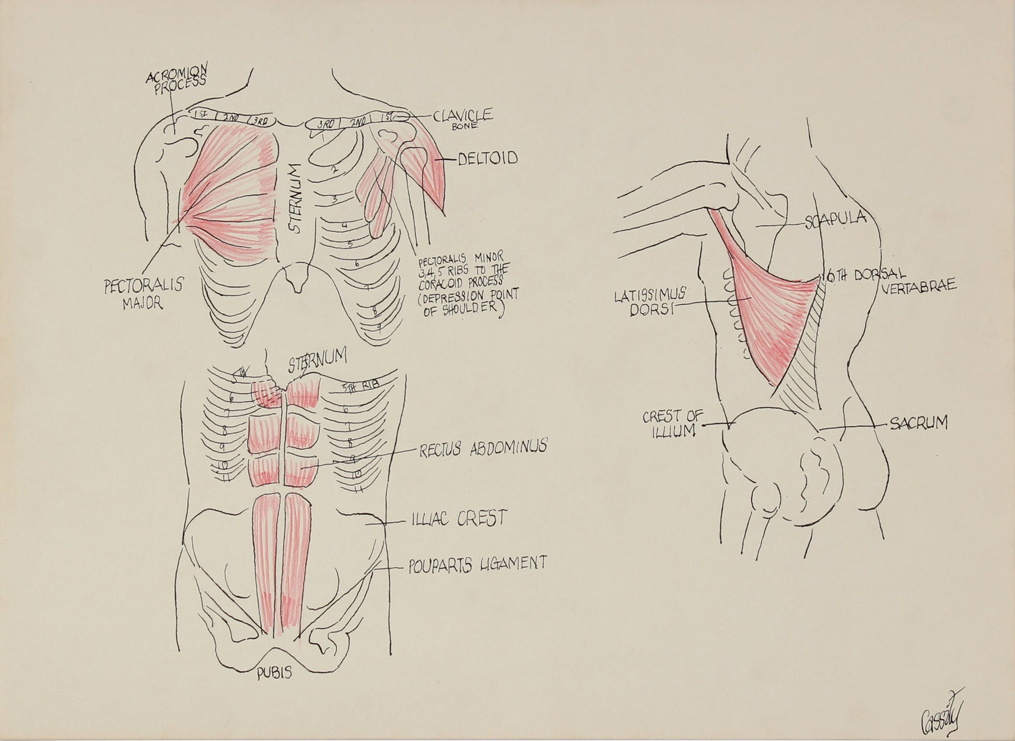 Musculature of the Torso -  Study <br>1950s Ink & Colored Pencil <br><br>#41393