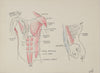 Academic Abdomen Muscular Study <br>1950s Ink & Colored Pencil <br><br>#41395