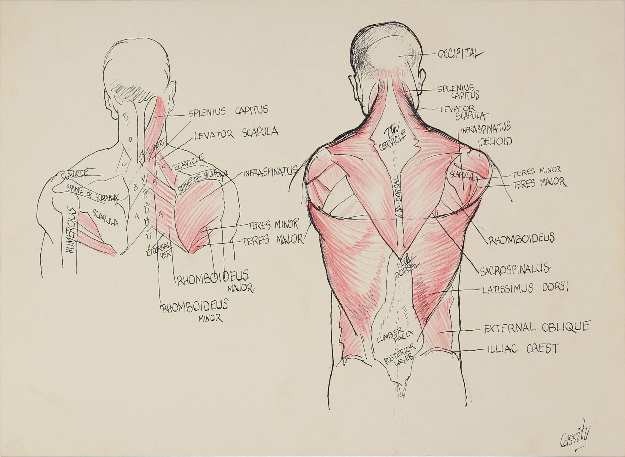 Muscles of the Back - Study <br> 1950s Ink <br><br>#41397