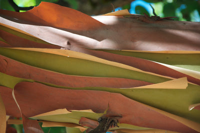 <I>Madrone Bark</I><br>Mendocino, California, 2011<br><br>GC0083