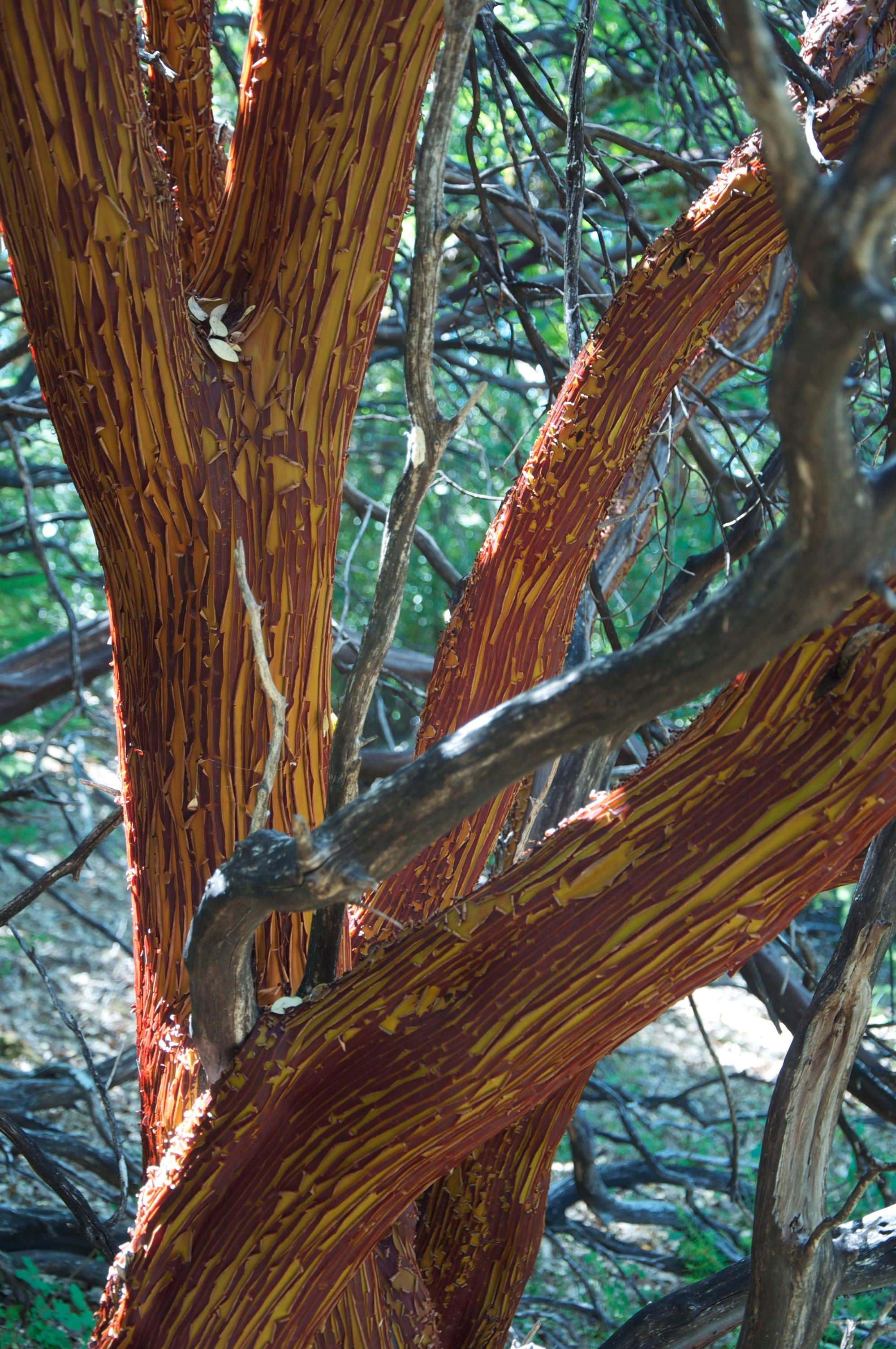 <I>Manzanita Tree Shedding Bark in Summer</I><br>Mendocino, California, 2011<br><br>GC0125