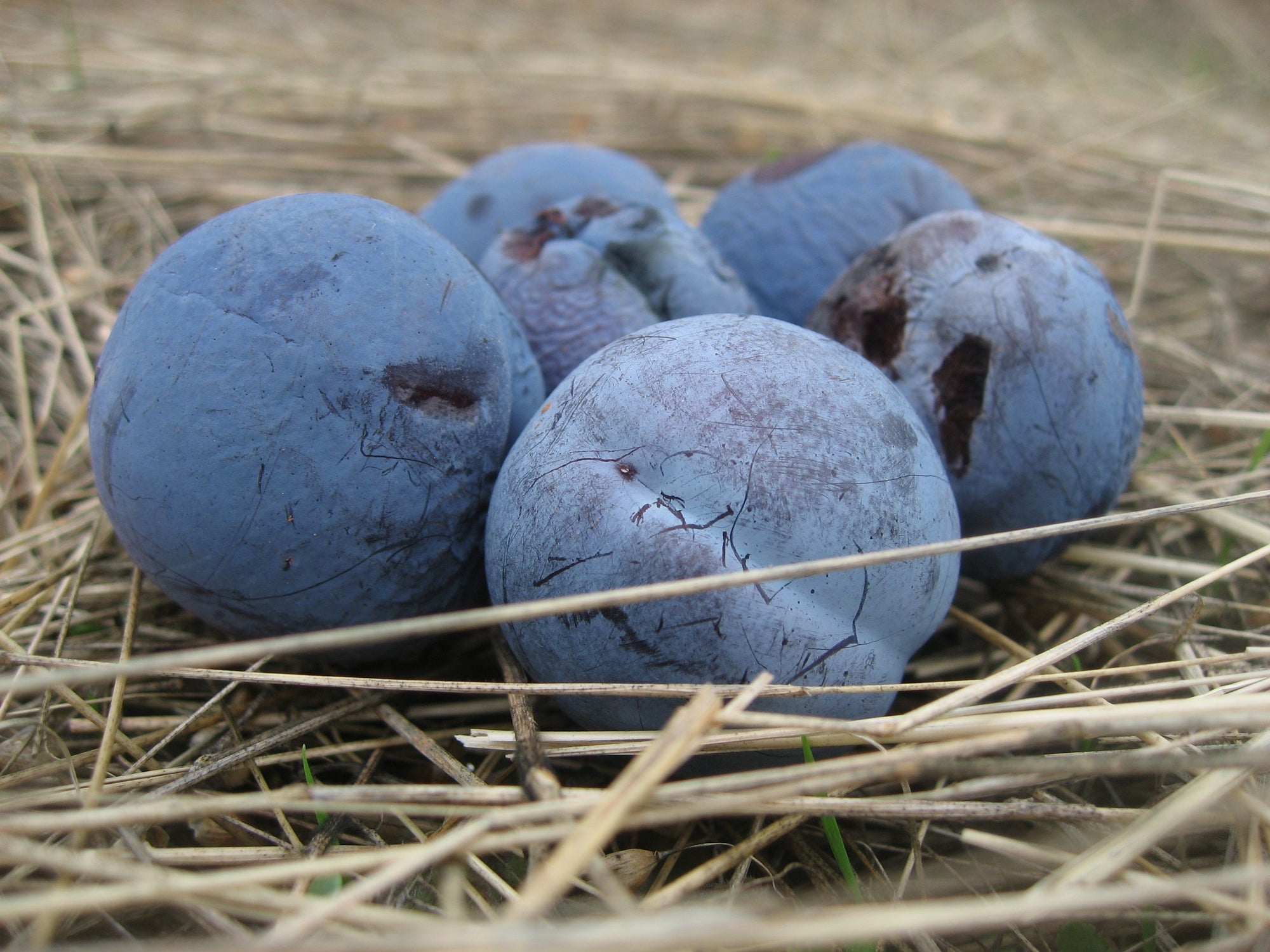 <I>Blue Damson (Plums)</I><br>Mendocino, California, 2010<br><br>GC0228