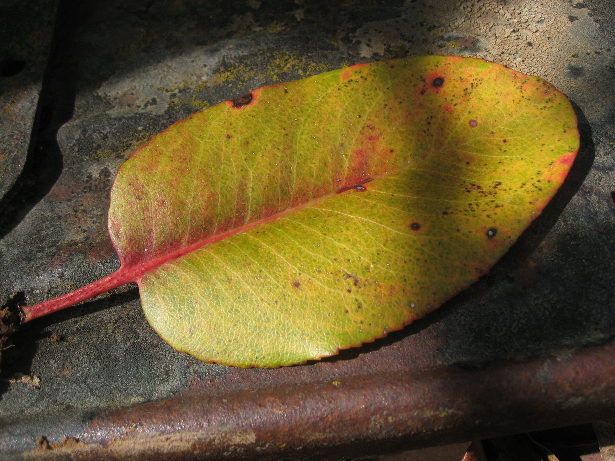 <I>Madrone Leaf on Old Ford Model T</I><br>Mendocino, California, 2011<br><br>GC0247