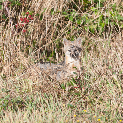 <I>California Grey Fox</I><br>Mendocino Coast, California, 2010<br><br>GC0410