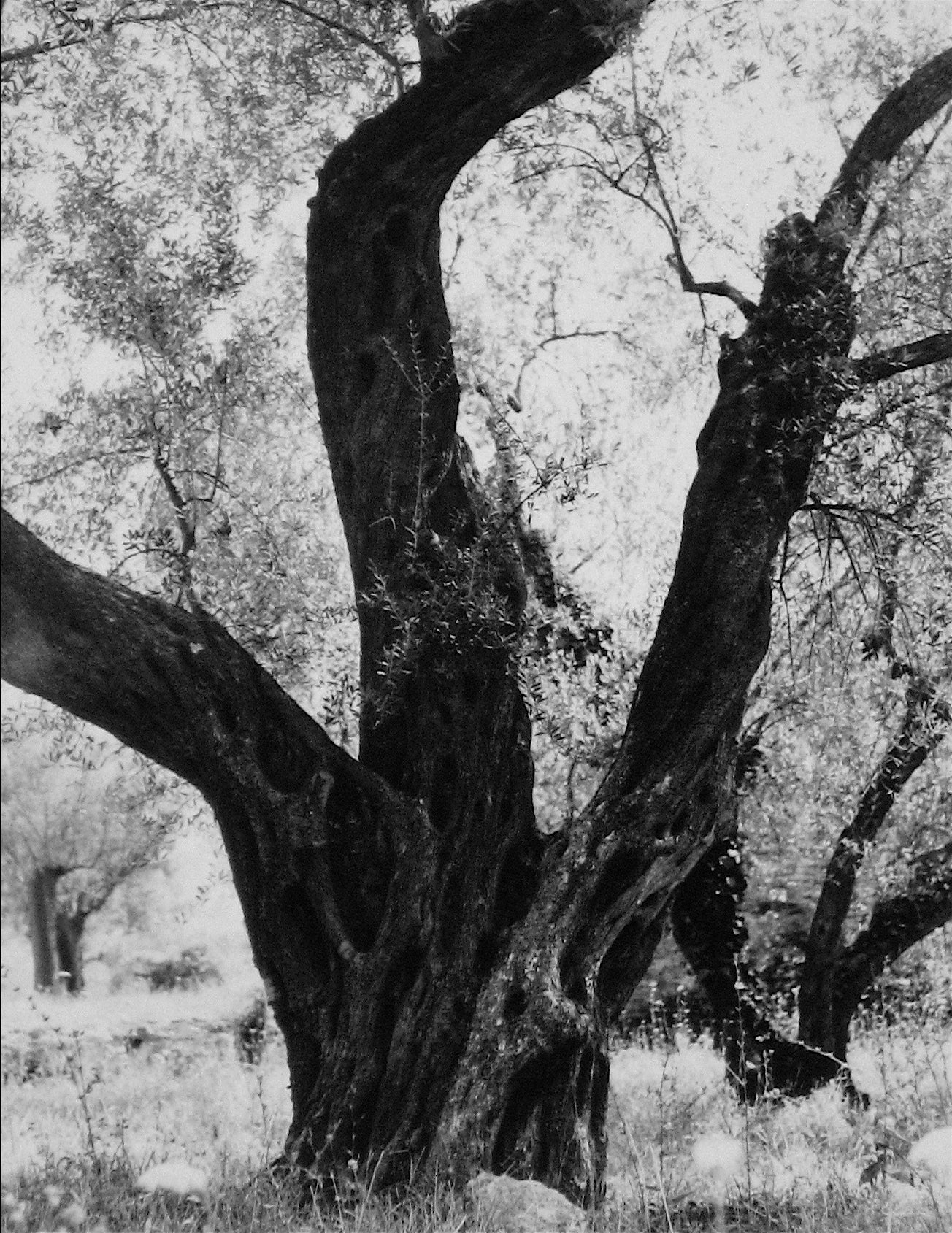 Tree in Rome <br>1960s Photograph <br><br>#12120