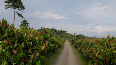 cacao plants with a path going along the middle on farm