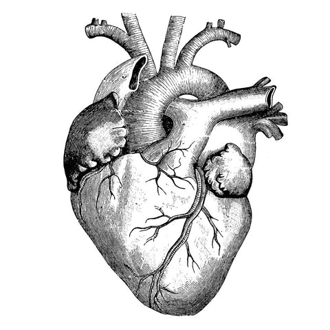 Realistic detailed drawing of heart