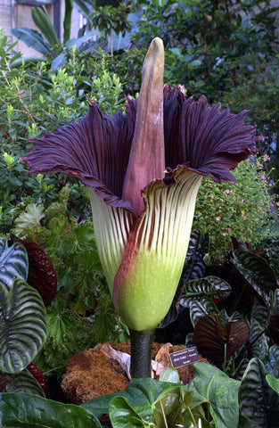 Corpse Flower or Titan Arum