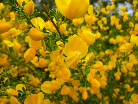 English broom
