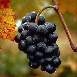 Cabernet Grape