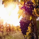 Sundrenched Vineyard