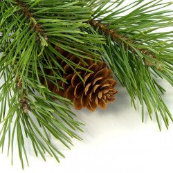 Fraser Fir Fragrance Oil
