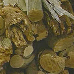Asian Sandalwood