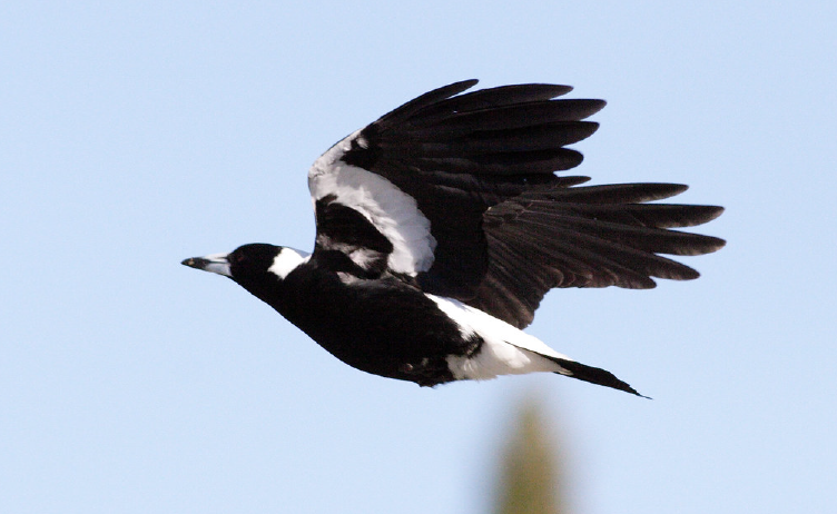 How to stay safe during magpie swooping season