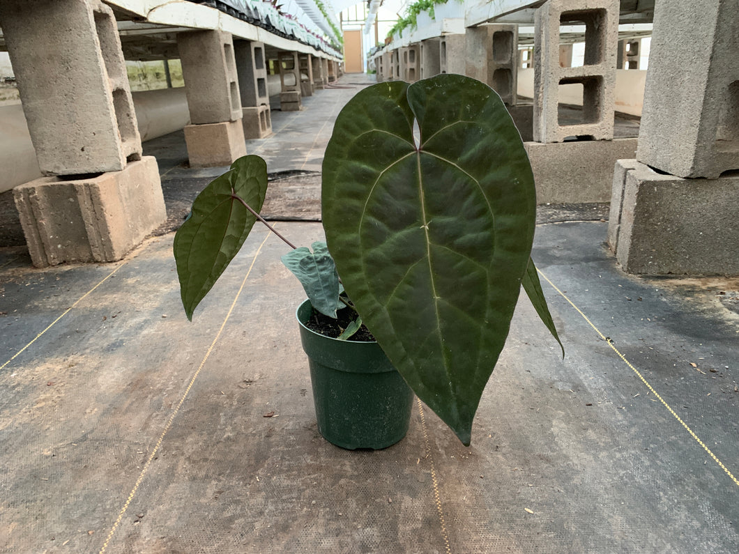 GROWING: Anthurium 'Ace of Spades'