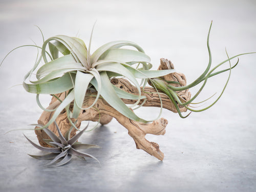Small Tillandsia Arrangements