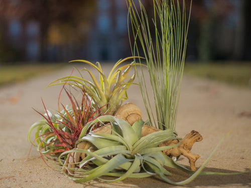 Medium Tillandsia Arrangements