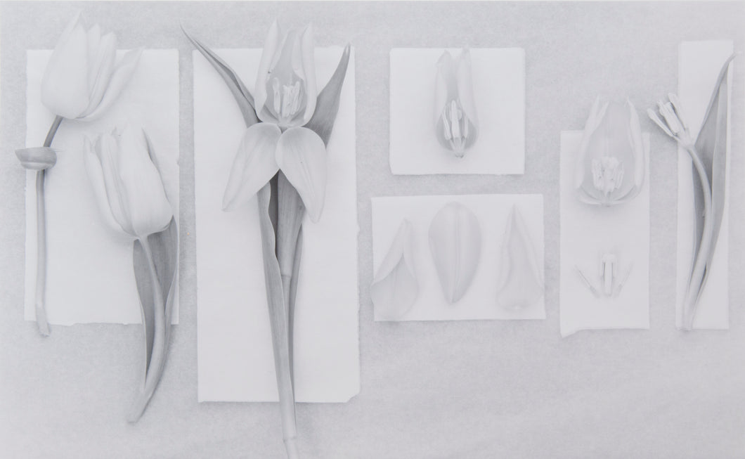 Tulipa Dissections - 3