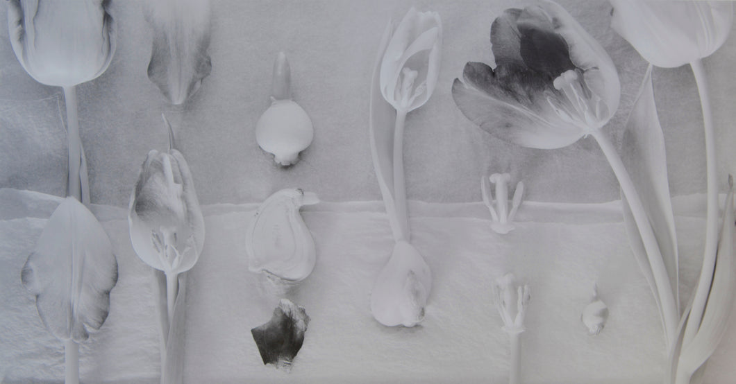 Tulipa Dissections - 9