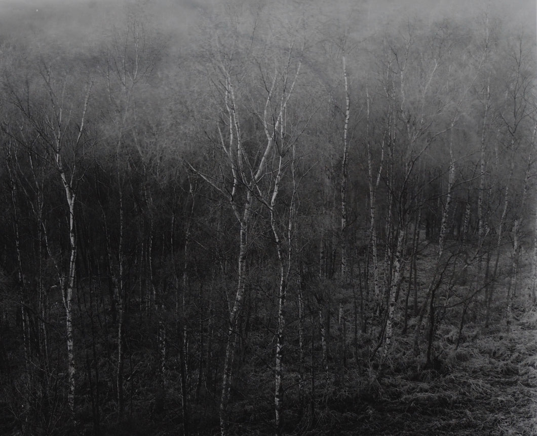ST1 'Birch, evening light'