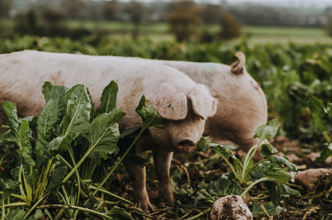 How to Grow a Pipers Farm Pig