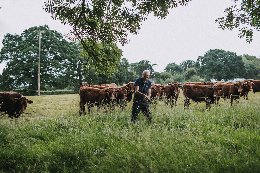 Grass-fed Red Ruby cattle on our Devon farm