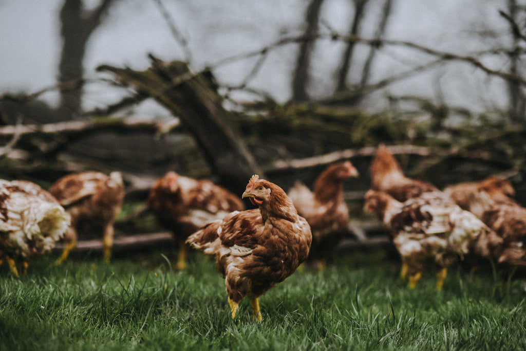 Properly Free Range Chicken | Pipers Farm