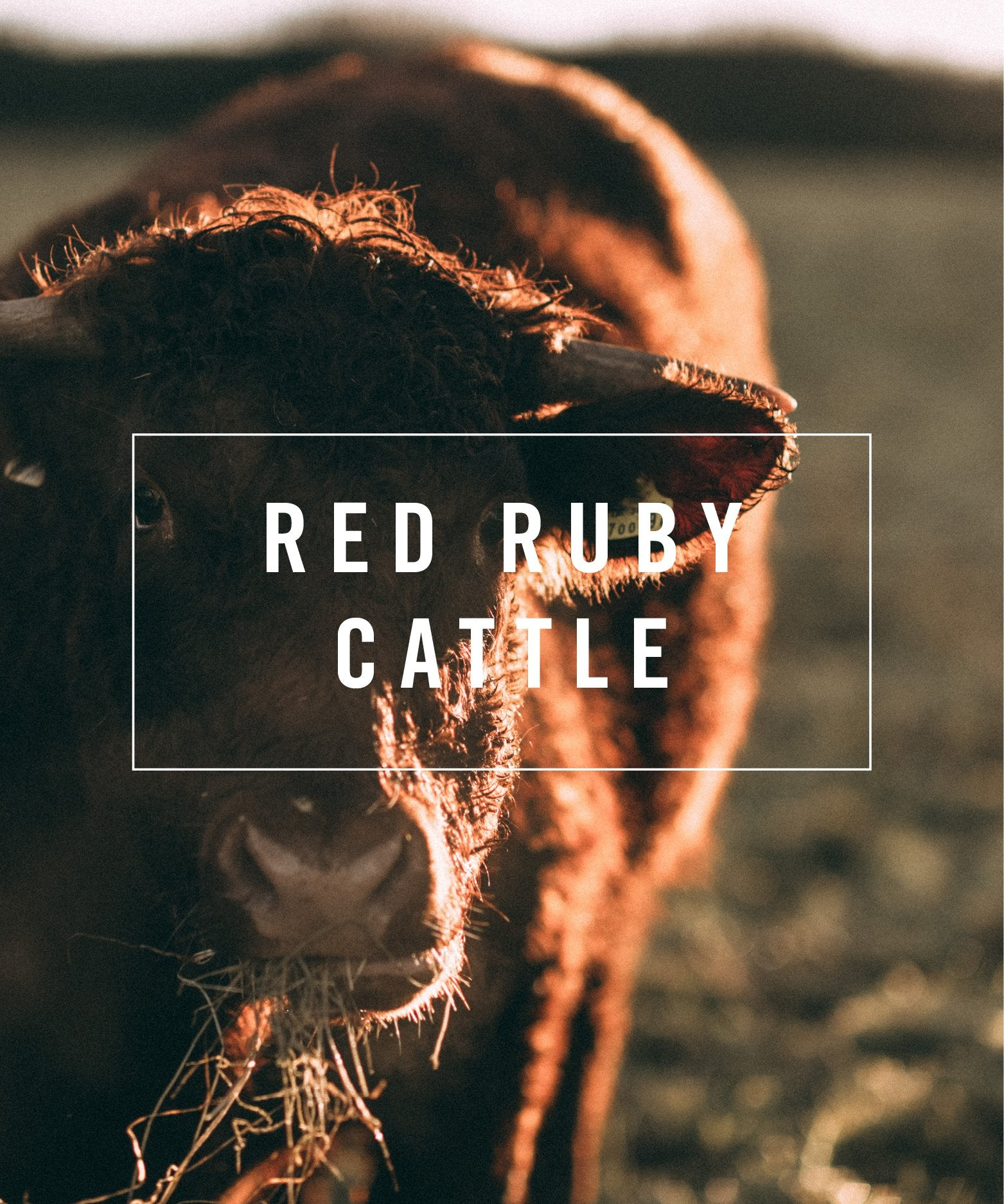 livestock red ruby cattle
