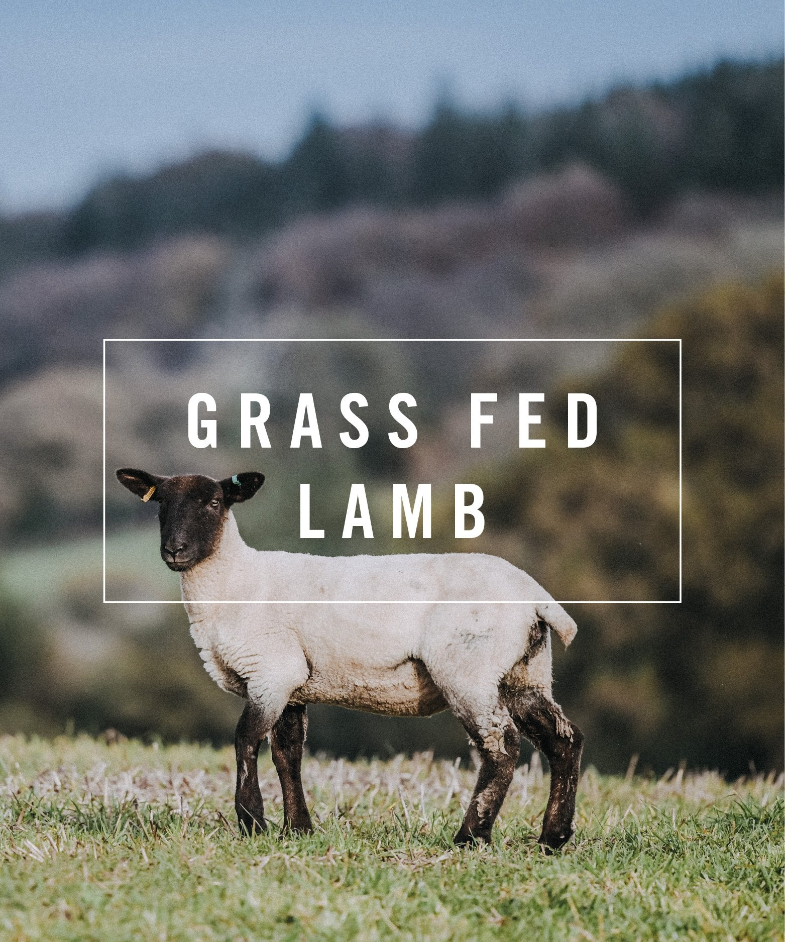 livestock grass fed lamb