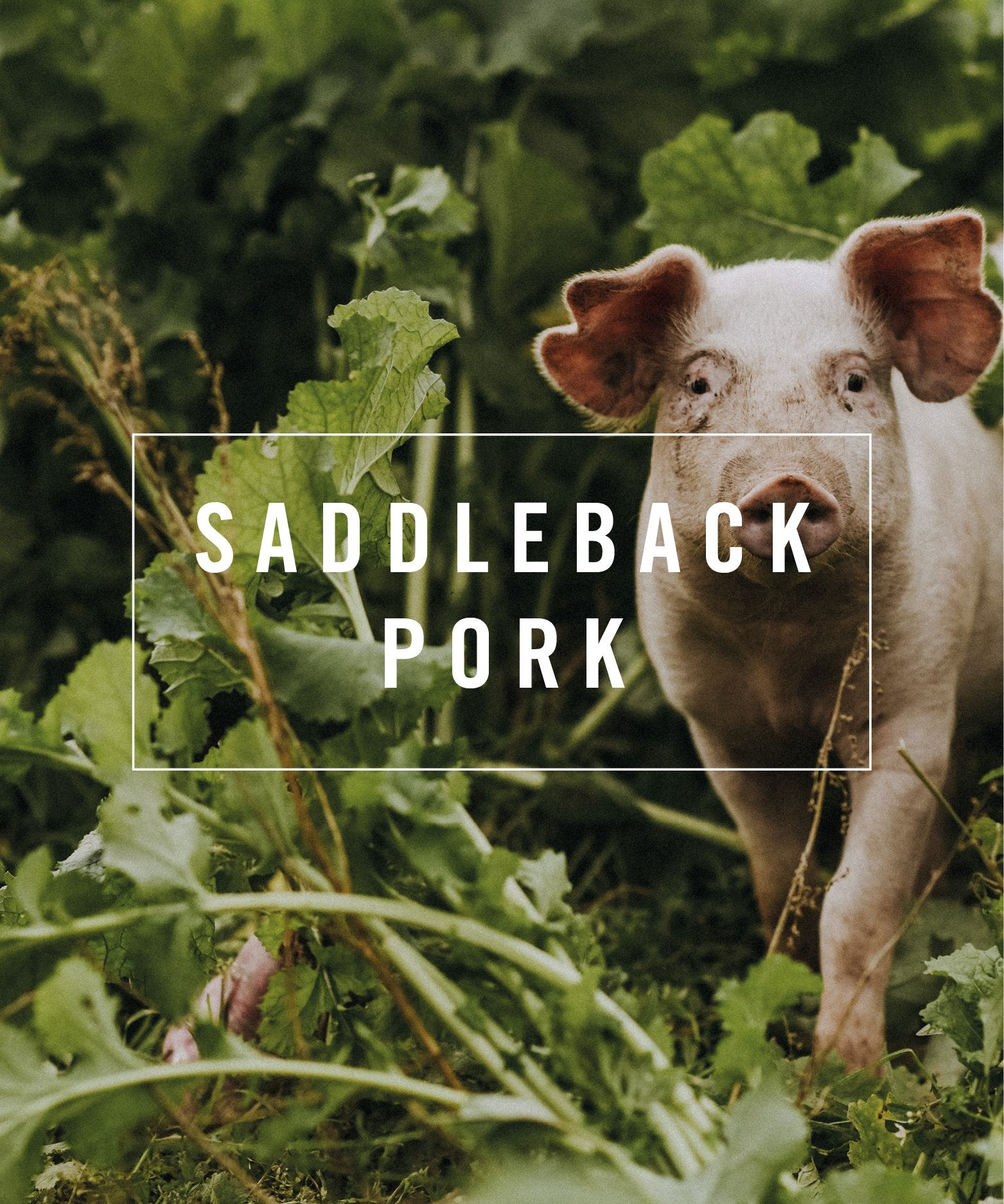 saddleback pork