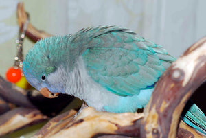 <center>Blue Quaker Parrots (Monk Parakeets) Care Guide: Personality, Diet, Lifespan & More</center>
