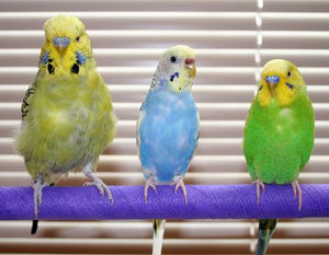 Pros & Cons of Budgies & Parakeets as Pets - Are They Good Companions & Should You Get One?