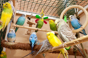 <center>Just How Long Do Parrots Live? What's The Average Parrot Lifespan of Pet Birds in Captivity?</center>