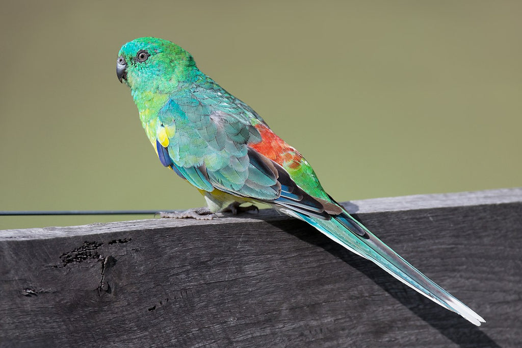 <center>Red Rumped Parakeets: Everything You Need To Know About Red Rump Parrots</center>